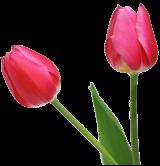 tulip_PNG9000