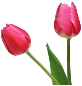 tulips sylvia plath essays This 1047 word essay is about sylvia plath, tulips, sylvia, persona, plath, ariel read the full essay now.